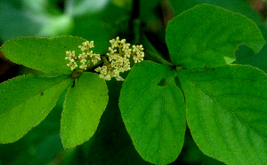 (Cissus pseudosicyoides - BioBot01716)  @11 [ ] CreativeCommons - Attribution Non-Commercial Share-Alike (2010) Daniel H. Janzen Guanacaste Dry Forest Conservation Fund