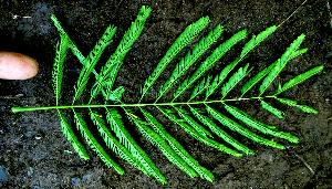 (Vachiella - BioBot01981)  @11 [ ] CreativeCommons - Attribution Non-Commercial Share-Alike (2010) Daniel H. Janzen Guanacaste Dry Forest Conservation Fund