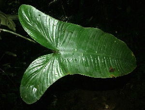 (Philodendron tenue - BioBot05793)  @11 [ ] CreativeCommons - Attribution Non-Commercial Share-Alike (2010) Daniel H. Janzen Guanacaste Dry Forest Conservation Fund