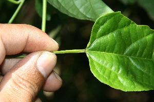 (Plukenetia - BioBot06275)  @11 [ ] CreativeCommons - Attribution Non-Commercial Share-Alike (2010) Daniel H. Janzen Guanacaste Dry Forest Conservation Fund