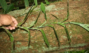 (Araceae Jorge127 - BioBot06283)  @11 [ ] CreativeCommons - Attribution Non-Commercial Share-Alike (2010) Daniel H. Janzen Guanacaste Dry Forest Conservation Fund