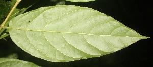 (Quararibea - BioBot06849)  @11 [ ] CreativeCommons - Attribution Non-Commercial Share-Alike (2010) Daniel H. Janzen Guanacaste Dry Forest Conservation Fund