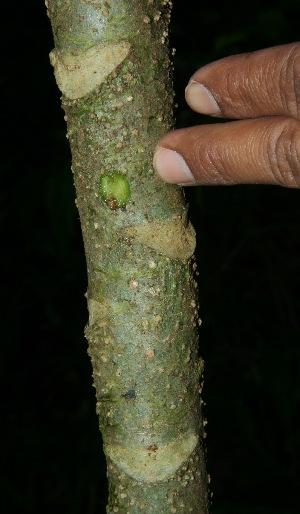 (Senecio copeyensis - BioBot10208)  @11 [ ] CreativeCommons - Attribution Non-Commercial Share-Alike (2011) Daniel H. Janzen Guanacaste Dry Forest Conservation Fund