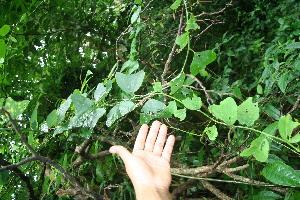 (Passiflora biflora - BioBot10428)  @11 [ ] CreativeCommons - Attribution Non-Commercial Share-Alike (2011) Daniel H. Janzen Guanacaste Dry Forest Conservation Fund
