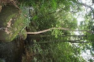 (Tapirira - BioBot10843)  @11 [ ] CreativeCommons - Attribution Non-Commercial Share-Alike (2010) Daniel H. Janzen Guanacaste Dry Forest Conservation Fund