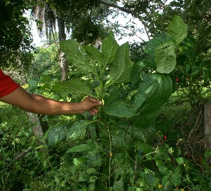 (Jaltomata - BioBot11301)  @11 [ ] CreativeCommons - Attribution Non-Commercial Share-Alike (2010) Daniel H. Janzen Guanacaste Dry Forest Conservation Fund