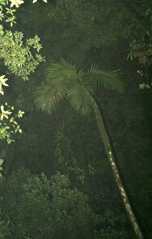 (Prestoea - BioBot11870)  @11 [ ] CreativeCommons - Attribution Non-Commercial Share-Alike (2010) Daniel H. Janzen Guanacaste Dry Forest Conservation Fund