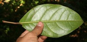 (Hyeronima - BioBot12691)  @11 [ ] CreativeCommons - Attribution Non-Commercial Share-Alike (2010) Daniel H. Janzen Guanacaste Dry Forest Conservation Fund