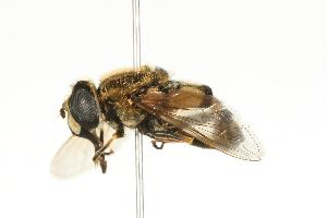 (Eristalis obscura - CHU06-SYR-186)  @15 [ ] CreativeCommons - Attribution Non-Commercial (2010) Jeffrey H. Skevington Agriculture and Agri-Food Canada