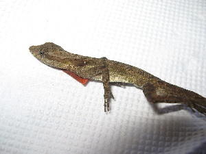(Anolis tropidogaster - MHUA-R 11977)  @11 [ ] CreativeCommons - Attribution Non-Commercial Share-Alike (2013) Unspecified Universidad de Antioquia, Museo de Herpetologia