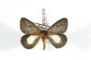 (Dirphiella - BC-Her4214)  @14 [ ] Copyright (2010) Daniel Herbin Research Collection of Daniel Herbin