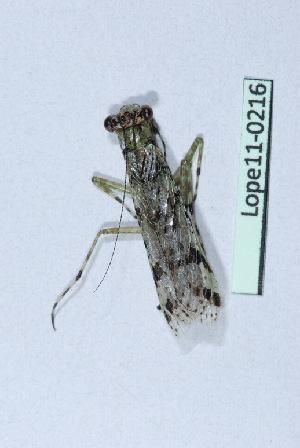 (Amorphoscelidae - Lope11-0216)  @13 [ ] Copyright (2011) Rodolphe Rougerie University of Rouen