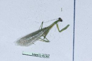 (Tarachodidae - Lope11-0230)  @13 [ ] Copyright (2011) Rodolphe Rougerie University of Rouen
