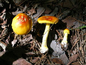 (Amanita cf. flavorubescens - DJM 1519)  @11 [ ] CreativeCommons - Attribution Non-Commercial Share-Alike (2010) Mycology Division, Royal Ontario Museum Royal Ontario Museum
