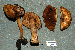 (Inocybe napipes - MCBS 065)  @11 [ ] CreativeCommons - Attribution Non-Commercial Share-Alike (2010) Bell Museum of Natural History, University of Minnesota Royal Ontario Museum
