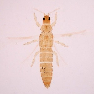 (Sciothrips - AP4)  @11 [ ] Copyright (2013) PHCDBS Paul Hebert Center for DNA Barcoding & Biodiversity Studies
