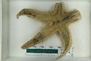 (Astropecten aranciacus - ZMBN_115351)  @11 [ ] Creative Commons-BY-NC-SA (2017) University of Bergen Natural History Collections