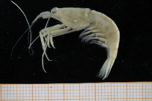 (Processidae - UMBergen_MBOWA_shrimp78)  @15 [ ] CreativeCommons - Attribution Non-Commercial Share-Alike (2013) Unspecified University of Bergen, Natural History Collections