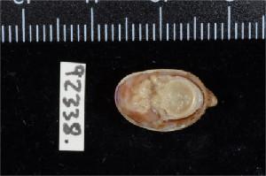 (Crepidula porcellana - ZMBN 92338)  @11 [ ] Creative Commons-by-nc-sa (2014) Manuel A. E. Malaquias University of Bergen, Natural History Collections