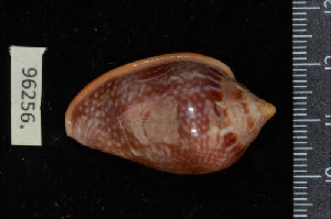 (Marginella glabella - ZMBN 96256)  @11 [ ] Creative Commons-by-nc-sa (2014) Manuel A. E. Malaquias University of Bergen, Natural History Collections