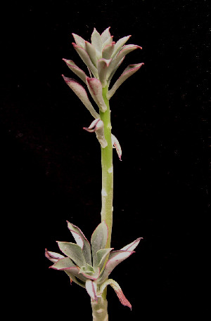 (Echeveria chapalensis - JE-5070)  @11 [ ] Unspecified (default): All Rights Reserved  Unspecified Unspecified