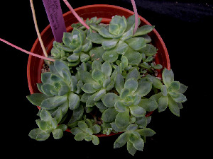 (Echeveria microcalyx - JE-5848)  @11 [ ] Unspecified (default): All Rights Reserved  Unspecified Unspecified