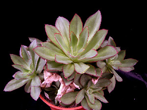 (Echeveria subrigida - JE-5287)  @11 [ ] Unspecified (default): All Rights Reserved  Unspecified Unspecified