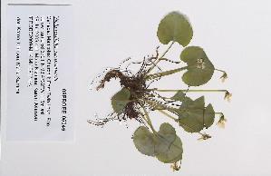 (Viola renifolia - 09PROBE-05045)  @11 [ ] Copyright (2010) Unspecified Unspecified