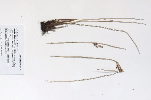 (Juncus arcticus ssp arcticus - 09PROBE-05270)  @11 [ ] Copyright (2010) Unspecified Unspecified