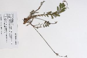 (Potentilla anserina ssp egedii - 09PROBE-05291)  @11 [ ] Copyright (2010) Unspecified Unspecified