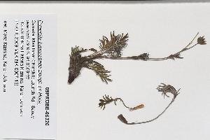 (Potentilla bipinnatifida - 09PROBE-05320)  @11 [ ] Copyright (2010) Unspecified Unspecified