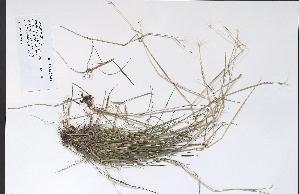 (Poa pratensis ssp alpigena - 09PROBE-05446)  @11 [ ] Copyright (2010) Unspecified Unspecified