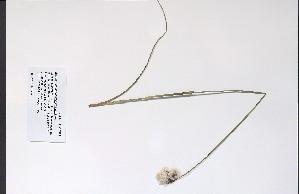(Eriophorum angustifolium - 09PROBE-05521)  @11 [ ] Copyright (2010) Unspecified Unspecified
