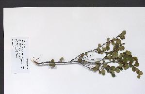 (Betula glandulosa - 09PROBE-05527)  @11 [ ] Copyright (2010) Unspecified Unspecified