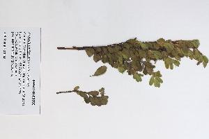 (Arctostaphylos uva-ursi - 09PROBE-05599)  @11 [ ] Copyright (2010) Unspecified Unspecified