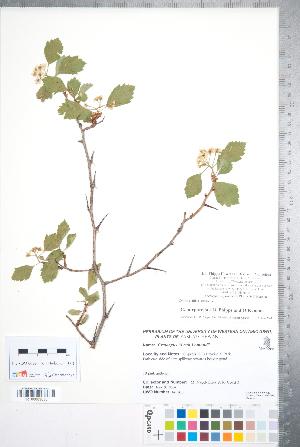 (Crataegus purpurella - CCDB-18301-G02)  @11 [ ] Copyright (2012) Tim Dickinson Royal Ontario Museum