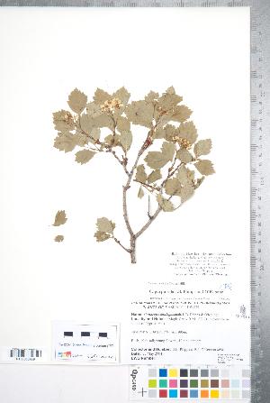 (Crataegus purpurella - CCDB-18301-E02)  @11 [ ] Copyright (2012) Tim Dickinson Royal Ontario Museum
