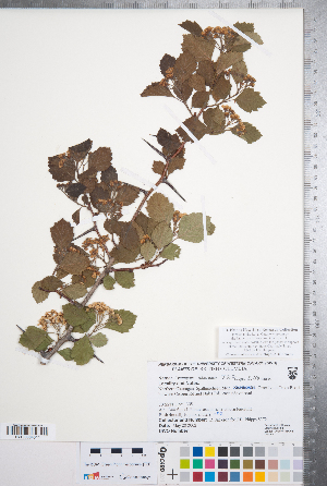 (Crataegus atrovirens - CCDB-18301-A01)  @11 [ ] No Rights Reserved (2014) Deb Metsger Royal Ontario Museum