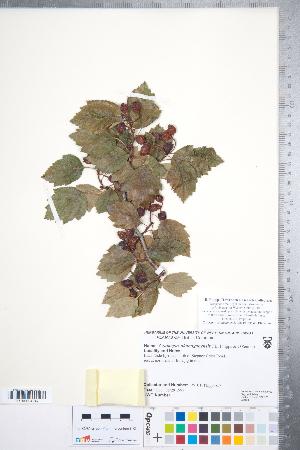 (Crataegus okanaganensis - CCDB-18301-E01)  @11 [ ] Copyright (2012) Tim Dickinson Royal Ontario Museum