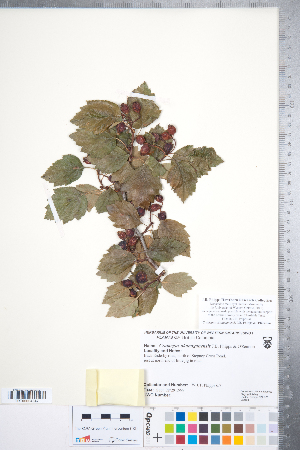 (Crataegus okanaganensis - CCDB-18301-E01)  @11 [ ] © (2014) Deb Metsger Royal Ontario Museum