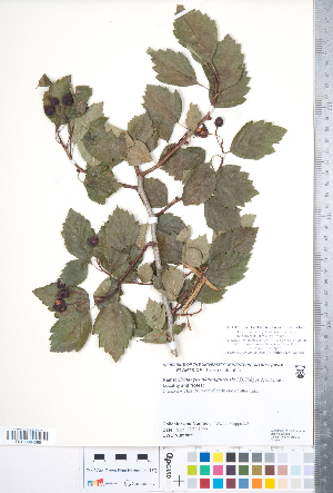 (Crataegus okanaganensis - CCDB-18301-C01)  @11 [ ] Copyright (2012) Tim Dickinson Royal Ontario Museum