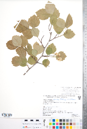 (Crataegus orbicularis - CCDB-18301-F01)  @11 [ ] Copyright (2012) Tim Dickinson Royal Ontario Museum