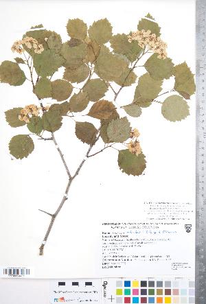(Crataegus orbicularis - CCDB-18301-H01)  @11 [ ] Copyright (2012) Tim Dickinson Royal Ontario Museum
