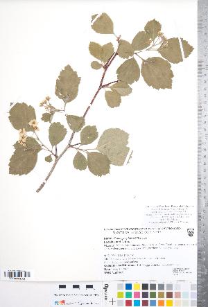 (Crataegus phippsii - CCDB-18301-E04)  @11 [ ] Copyright (2012) Tim Dickinson Royal Ontario Museum