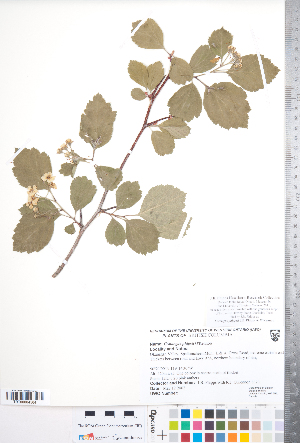 (Crataegus phippsii - CCDB-18301-E04)  @11 [ ] No Rights Reserved (2014) Deb Metsger Royal Ontario Museum