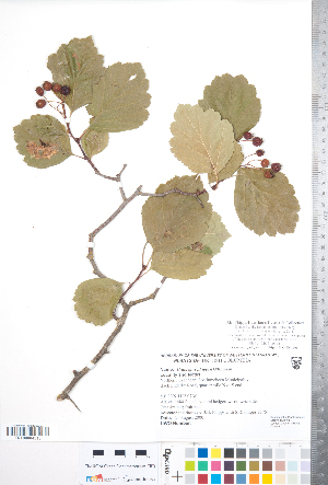 (Crataegus phippsii - CCDB-18301-C04)  @11 [ ] Copyright (2012) Tim Dickinson Royal Ontario Museum