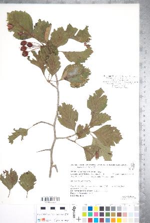 (Crataegus jonesiae - CCDB-18301-F04)  @11 [ ] Copyright (2012) Tim Dickinson Royal Ontario Museum