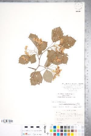 (Crataegus jonesiae - CCDB-18301-G04)  @11 [ ] Copyright (2012) Tim Dickinson Royal Ontario Museum