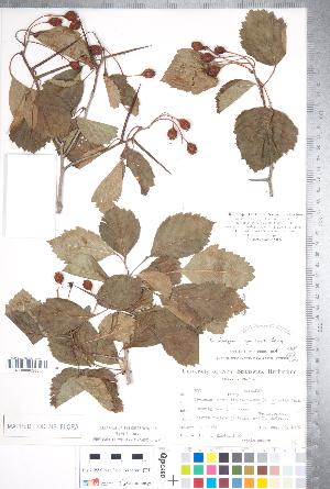 (Crataegus jonesiae - CCDB-18301-H04)  @11 [ ] © (2014) Deb Metsger Royal Ontario Museum