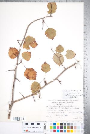 (Crataegus perjucunda - CCDB-18301-C03)  @11 [ ] No Rights Reserved (2014) Deb Metsger Royal Ontario Museum